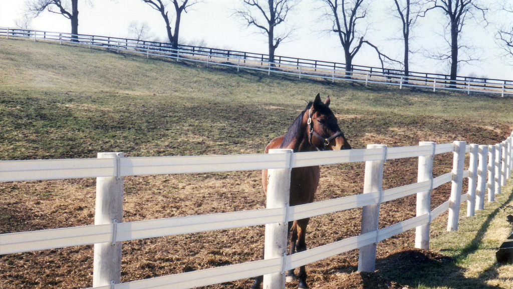 Bay horse looking over white Flex Fence